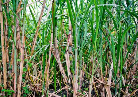 sugar cane plantation close up photo