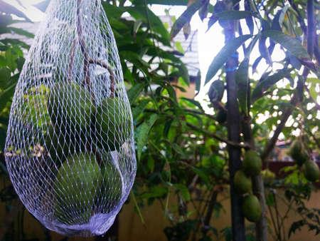 Fruit Care Kedondong (Buah Kedondong Cangkok Terawat)