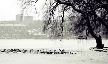 Winter scene of a lake,birds and urban city photo