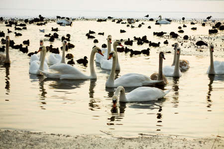 Ducks and swans on the winter lake photo