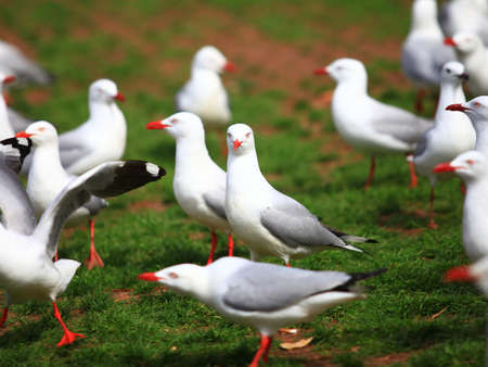 A group of Silver Gull on the green grass at Circular Quay, Sydney photo