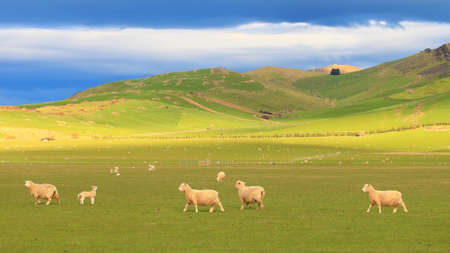 new zealand landscape: Group of sheep near rolling hills with dramatic sky at South Island, New Zealand