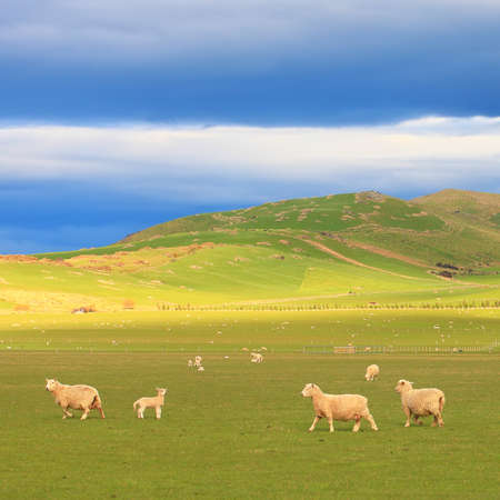 rolling landscape: Group of sheep near rolling hills with dramatic sky at South Island, New Zealand