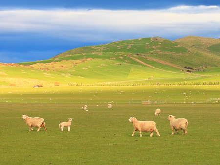 rolling hills: Scenic view and a group of sheep grazing on rolling landscape in New Zealand Stock Photo