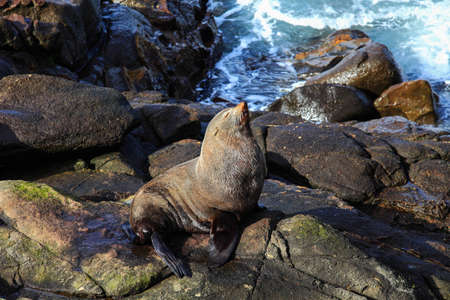 Sea lion sleeping at Katiki Point, New Zealand photo