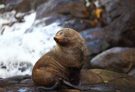 Sea lion at Katiki Point, New Zealand photo