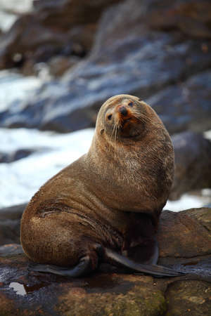 Sea lion looking at the camera in Katiki Point, New Zealand photo