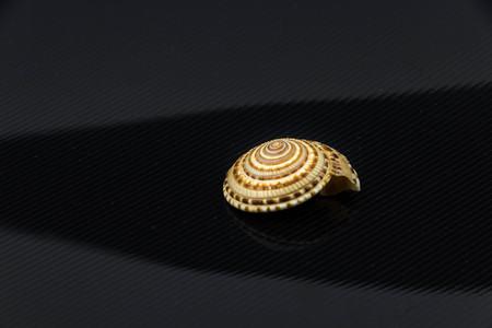 niloticus: Trochus niloticus sea shell