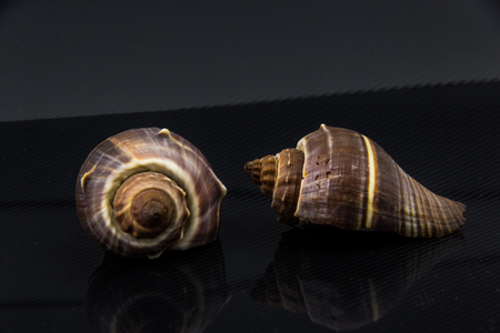 noix saint jacques: Beautiful sea shell Fasciolaria tulipa on a black background Banque d'images