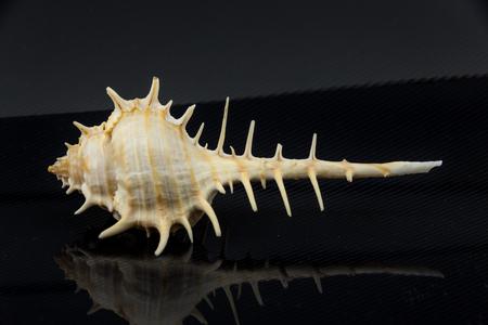 noix saint jacques: Belle coquille de mer Murex trapa sur un fond noir Banque d'images