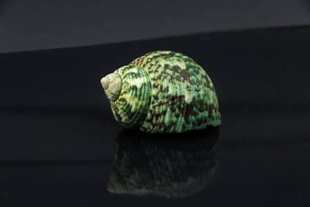 Beautiful sea shell Polinices lacteus on a black background