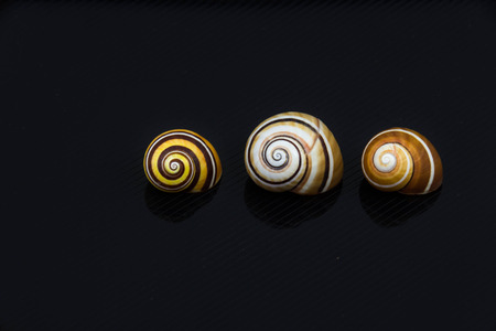 Beautiful sea shell Polymita picta on a black background