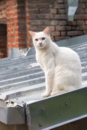 pity: Homeless Caucasian cat, on the roof of a house in Tbilisi