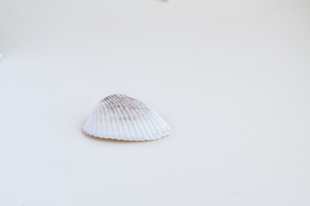 Beautiful sea shell shot close on a white background, from a private collection of sea and ocean shells