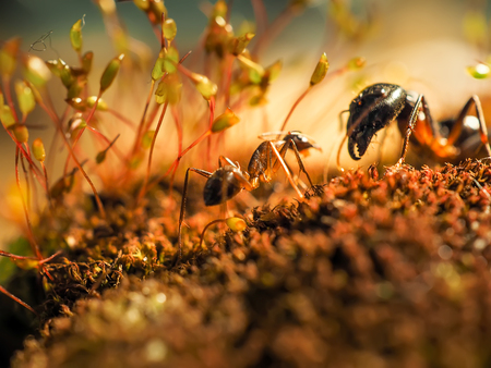 formica: two ants kisiing on moss at sunsett shoot close Stock Photo