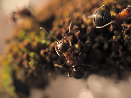 formica: Black ants on a moss photographed close Stock Photo