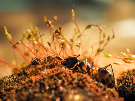 formica: two ants kissing on moss at sunset, macro