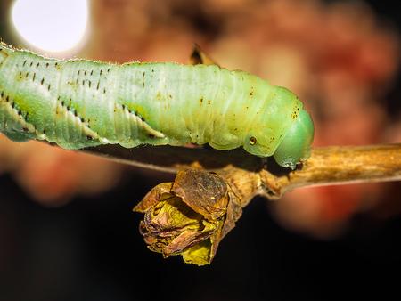 stingers: Macro Closeup Of A Green Io Moth Caterpillar Automeris io On A Tree Branch Stock Photo