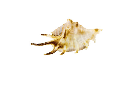 Beautiful sea shell,Lambis chiragra, isolated on white background view from the top .For posters, sites, business cards, postcards, interior design, labels and stickers.