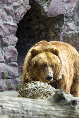 The brown bear came out of the cave Banco de Imagens