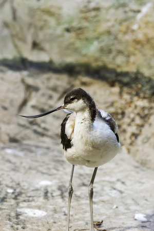 Pied avocet in the Bukle du Baule National Park in the west of Mali Imagens
