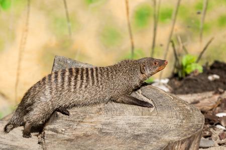 the striped mongoose rests on a stump in Ruaha National Park ,Iringa,Tansania Stock Photo