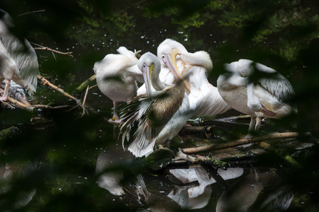 oddity: Group Great white pelican sits on a log in the lake Stock Photo