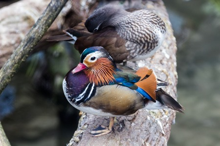 oddity: Graceful Male Mandarin Duck, on a dried log above the lake