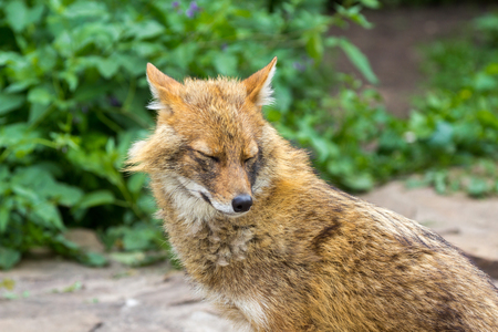 The golden jackal wandered the garden path on a hot summer day Imagens