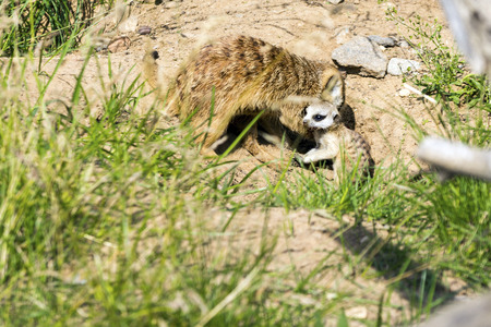mother took the cub out of the hole for the first time