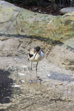 Pied avocet in the Bukle du Baule National Park in the west of Mali Stock Photo