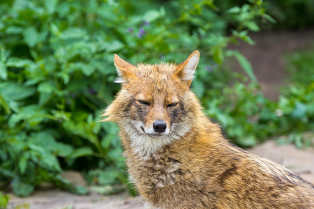 The golden jackal wandered the garden path on a hot summer day 스톡 콘텐츠