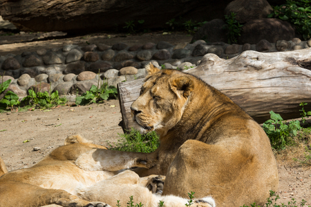 Lion pride rests after hunting, male Asian lion and two females Stock Photo