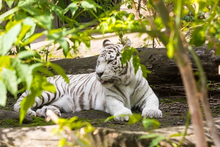Rare white tiger, shooting from far Stock Photo
