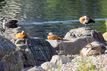 Ruddy Shelduck, known as the Brahminy Duck, is in a park.
