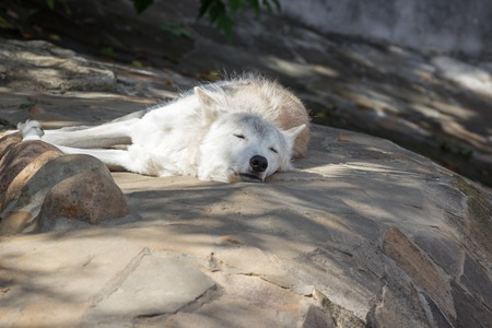 Female polar wolf rescued from the trap, forever left lame, remained faithful to people
