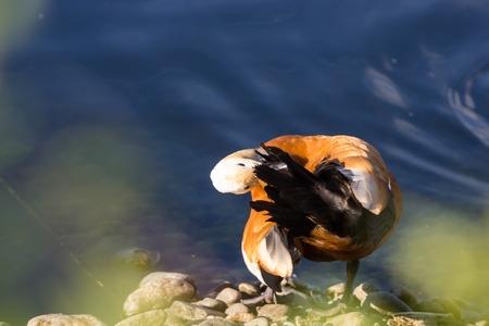 Ruddy Shelduck, known as the Brahminy Duck