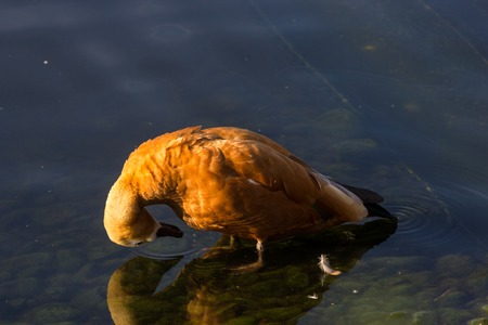 Ruddy Shelduck, known as the Brahminy Duck, at summer 2017