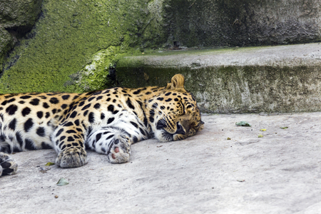 animal surveillance lulled Amur leopard wandered into the city, Northeast China . summer 2017
