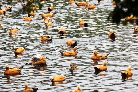 Ruddy Shelduck, known as the Brahminy Duck.