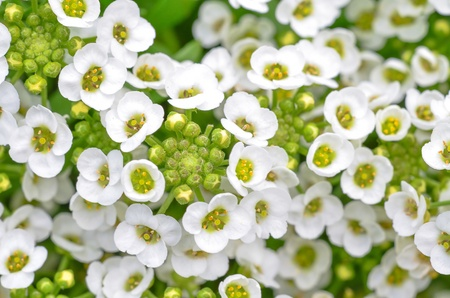 close up of small white alyssum