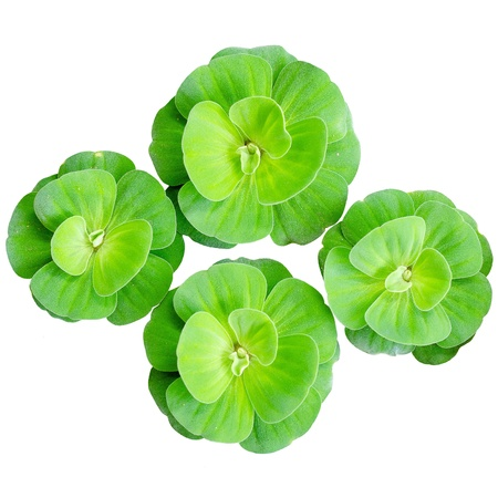 leaf vegetable: water lettuce isolated white background Stock Photo