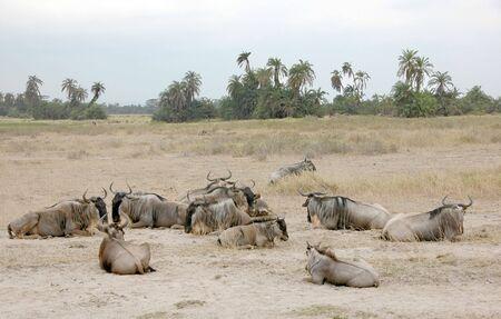 amboseli: Wildebeest in Amboseli National Park, Kenya Stock Photo