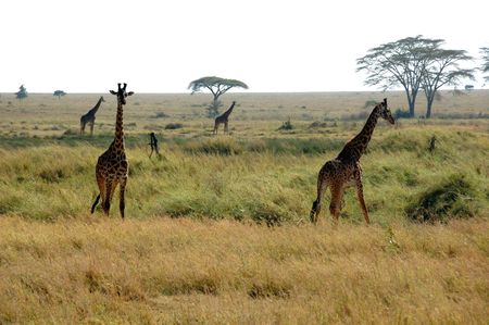 Giraffes in the Serengeti National Park, Tanzania Stock Photo - 3852593