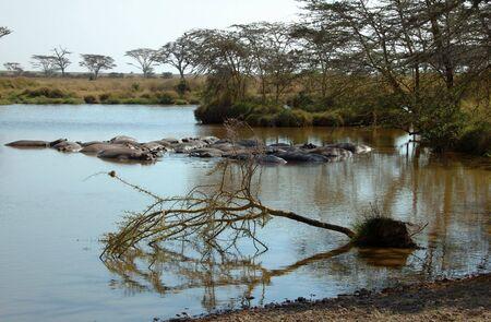Hippos in the Serengeti National Park, Tanzania photo