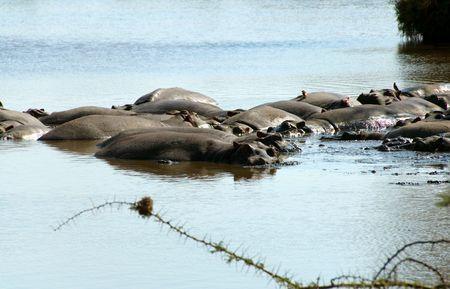 Hippos in the Serengeti National Park, Tanzania Stock Photo - 3852591