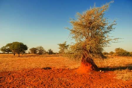 Termite mound in the red Kalahari desert Stock Photo
