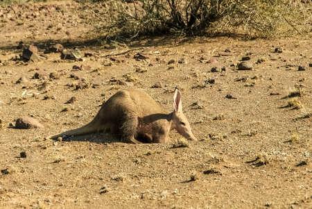 Aardvark in the Kalahari desert in Namibia, Africa Фото со стока