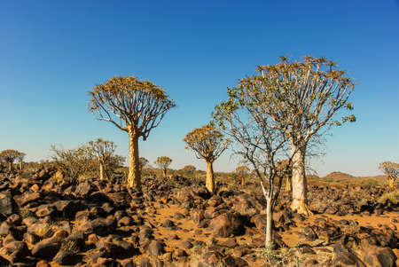 Quiver Tree Forest (Aloe Aloidendron dichotoma) or kokerboom or K?cherbaumwald near Keetmanshoop in Namibia, Africa
