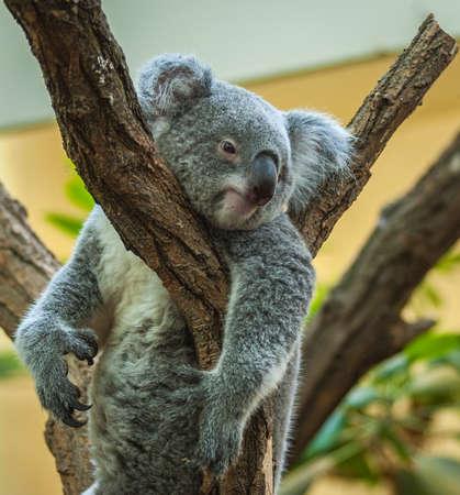 Australian koala Joey resting in a eucalyptus tree in Vienna Zoo (Schönbrunn Castle Wien)